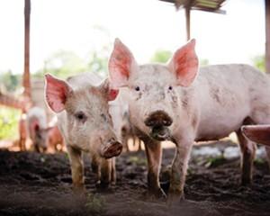Tamworth pigs at Northwind Farms in Tivoli.