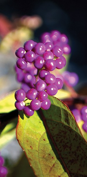 The gem-like fruits of beautyberry. - LARRY DECKER