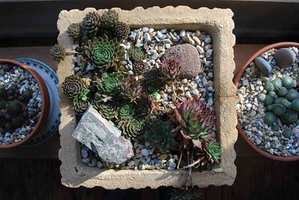 "The succulents known as ""hens and chicks""."
