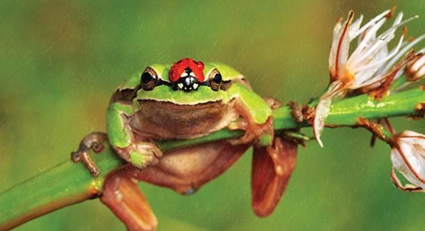 pw_cosmophilia-tree_frog.jpg