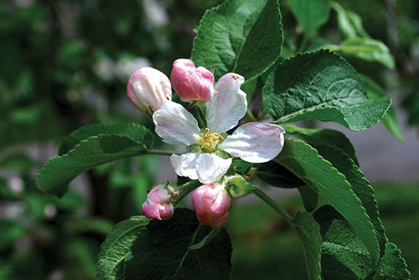 "Crabapple flower buds precede the ""phenophase"" of blooming - LARRY DECKER"