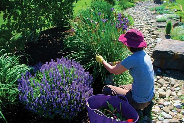Longtime Master Gardener Marge Bonner of Kerhonkson volunteers as part of a team in the SUNY Ulster Xeriscape Garden. - LARRY DECKER