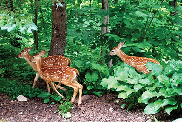 Lovely though they are, deer are a threat to our region's biodiversity. - LARRY DECKER