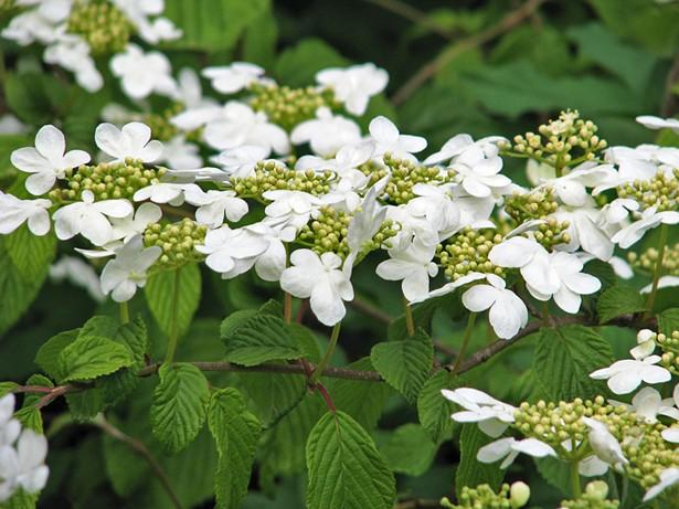 Doublefile viburnum in bloom