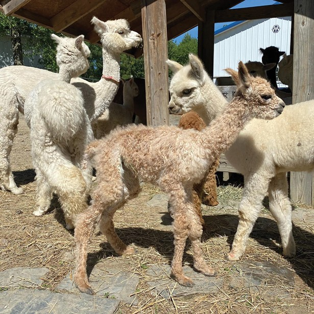 Baby alpacas at Shalimar Alpacas in Warwick