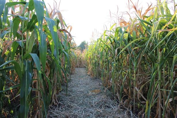 inside_the_corn_maze_labirudza_kyiv_2015.jpg