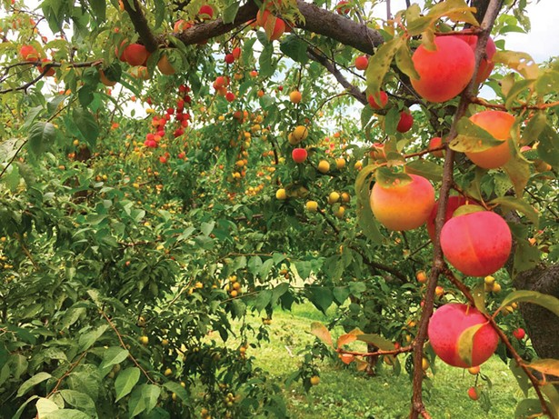 Holly Brittain, co-owner of Rose Hill Farm in Red Hook, worries - about losing an entire apple crop due to unnaturally warm late - winter temperatures that could induce trees into budding too early.