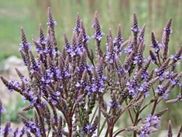 Water-loving blue verain (Verbena hastata) has purplish-blue flowers that bloom July through September.