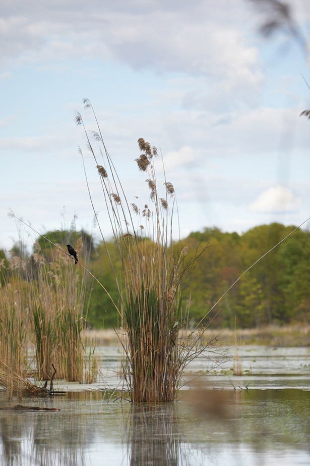Overseen by Winnakee Land Trust, the 1.5 miles of multi-loop trails at Vlei Marsh opened to the public for the first time on June 1, unlocking sweeping views of Rhinebeck's second-largest wetland. - DAVID MCINTYRE