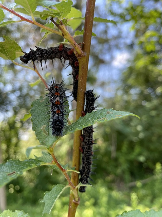 Free lunch! Mourning Cloak butterfly larvae found on a pussy willow, planted a month earlier. The pussy willow, already doing its job, is providing food for birds and serving as a foundation shrub in a landscaped garden. - IMAGE COURTESY OF HUDSON VALLEY NATIVE LANDSCAPING