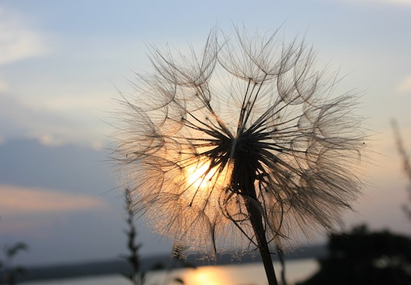The seed-puff of a Goat's Beard flower (not a dandelion—it's bigger) at sunset. - AMANDA PAINTER
