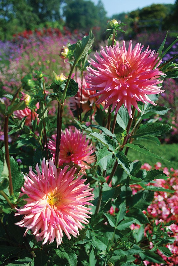 Dahlias - LARRY DECKER