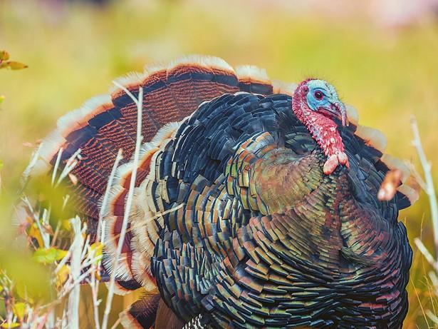 turkey.jpeg