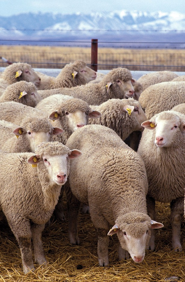 wyws_flock_of_sheep.jpg