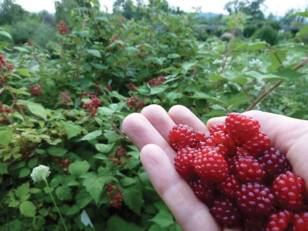 Wineberries: delicious fruit from an invasive shrub. - LAURA WYETH