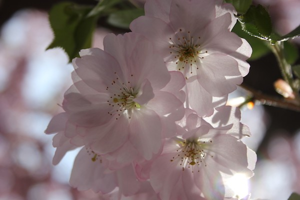 Cherry blossoms. Photo by Amanda Painter.