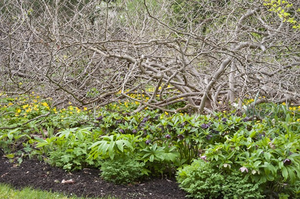 Don't just ring a shrub or tree with herbaceous plants around its dripline; get all the way in, as with this old Corylopsis spicata underplanted with hellebores, Corydalis lutea, and ephemerals. - PHOTO BY MARGARET ROACH
