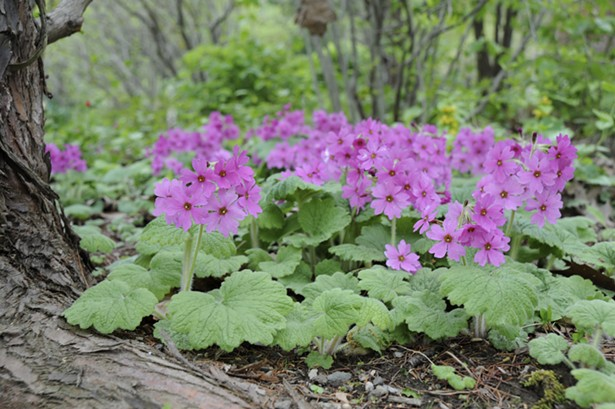 A detail of Primula kisoana. - PHOTO BY MARGARET ROACH