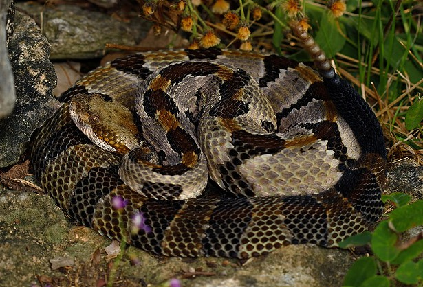 Timber Rattlesnake (Crotalus horridus). Copyright 2017. Licensed under CC by 2.0. - PETER PAPLANUS