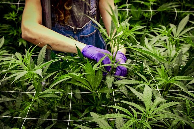 In the Weeds: An Inside Look at Cultivating Farm-to-Label Cannabis