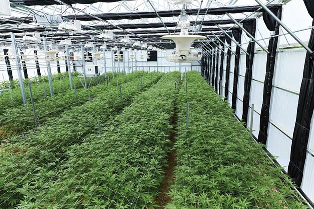 The Green Rush: Legal Cannabis on the Rise
