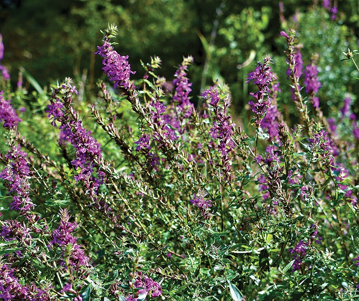 Purple loosestrife is an invasive weed that adapts overly well to the wetlands of the Hudson Valley. - LARRY DECKER