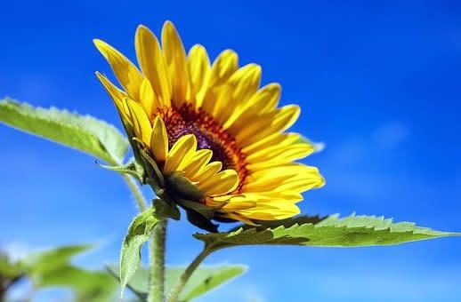 2019-sunflower-weekends-barton-orchards-free-photo_354defe5-.jpg