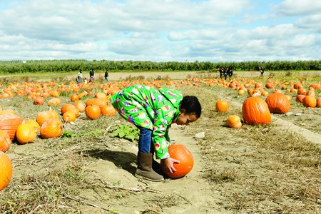 Picking pumpkins at Fishkill Farms - EVA DEITCH