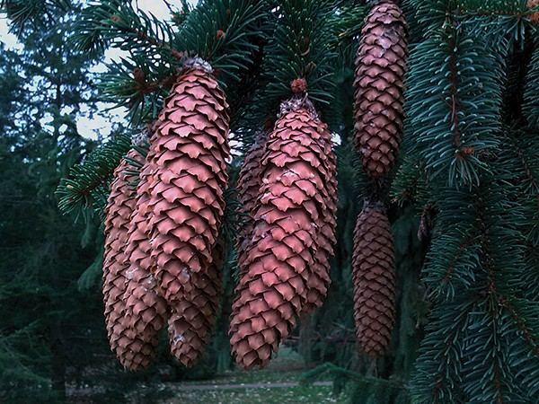 Conifers are cone-bearing trees, usually evergreen—but not always. - LARRY DECKER