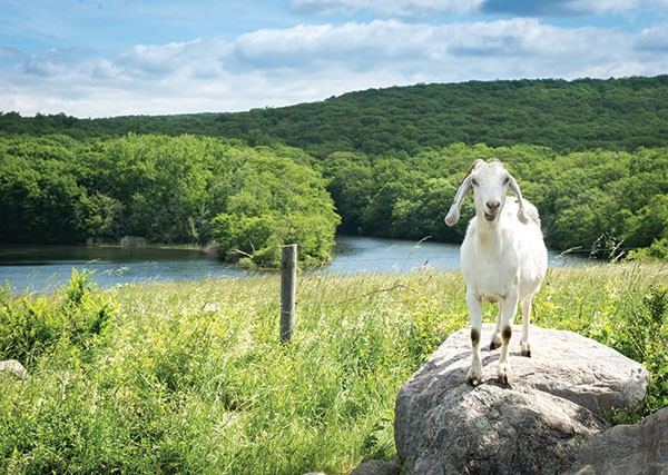 Goat at Glynwood in Cold Spring - CHRISTINE ASHBURN