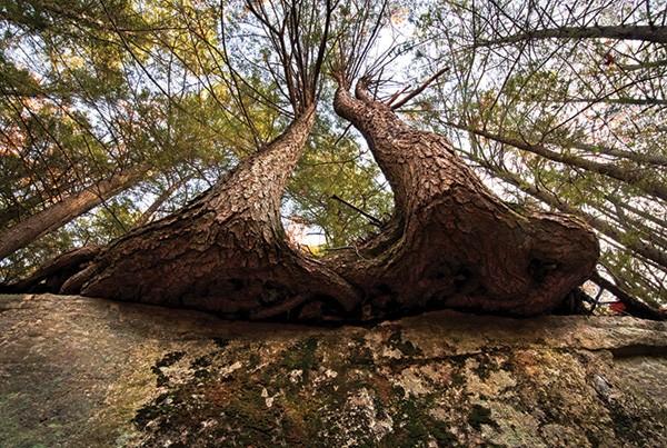 Overhanging Hemlocks, Nora Scarlett, 2010, from Trunks of the Gunks