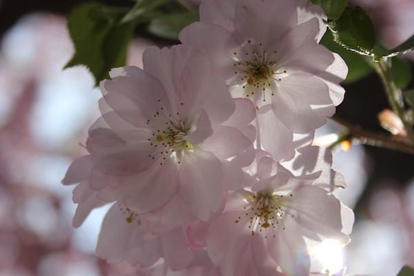 Cherry blossoms. Photo by Amanda Painter.