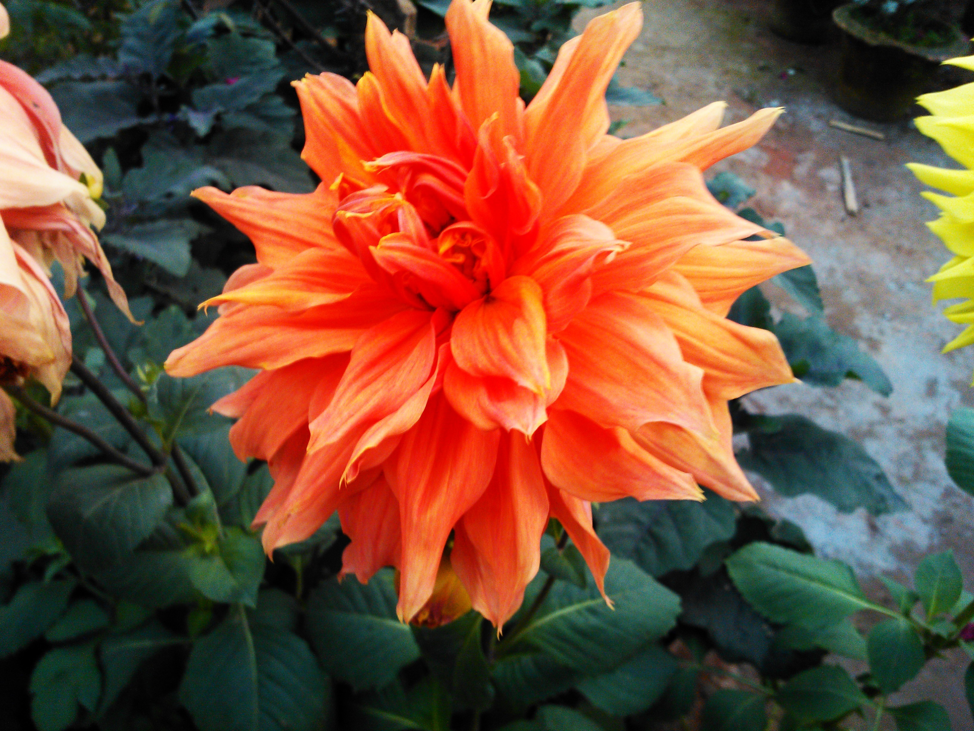 Tips for growing dahlia flowers design decor hudson valley tips for growing dahlia flowers izmirmasajfo
