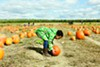 Picking pumpkins at Fishkill Farms