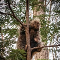 Parting Shot: Porcupine in Hemlock | December 2020