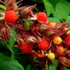 Three Wild Edibles to Forage for in July