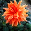 Tips for Growing Dahlia Flowers