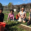 Volunteer in PFP's Meditation Herb Garden @ Poughkeepsie Farm Project