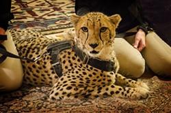 9bd4a40d_ambassador_cheetah.jpg