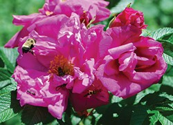 LARRY DECKER - The tough and beautiful rugosa rose.