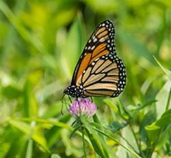 c93f8b5d_carl_mueller_monarch_butterfly.jpg