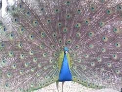 acb88b84_forsyth_peacock.jpg