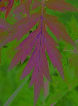 002bc40b_mugwort_leaf4_resized_2012.jpg