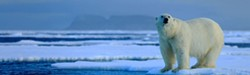 da0a651f_polar-bear-on-ice-edge-ss.jpg