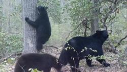 9135b41c_bears.jpg