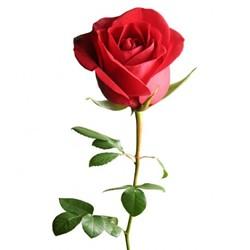 b8b1a5b0_rose.jpg