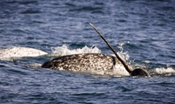 Narwhals,  Admiralty Inlet, High Canadian Arctic - Uploaded by Cultural Affairs at SUNY Orange