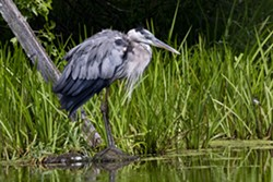 Great Blue Heron - Uploaded by Cultural Affairs at SUNY Orange