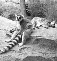 Awww! Shoot lemurs and more at the zoos' - photography contests (Monday).