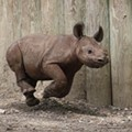 Juba The Rhino Turns 1 Year Old: Happy Birthday, Juba!